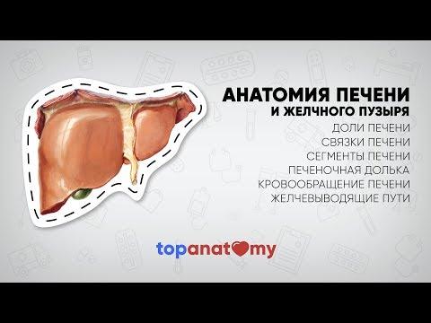 Анатомия печени. Печеночная долька. Желчный пузырь.