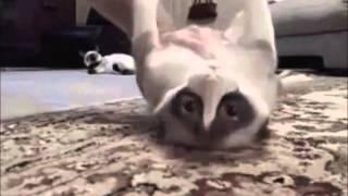 Более 50 смешных видео кошка сбоев