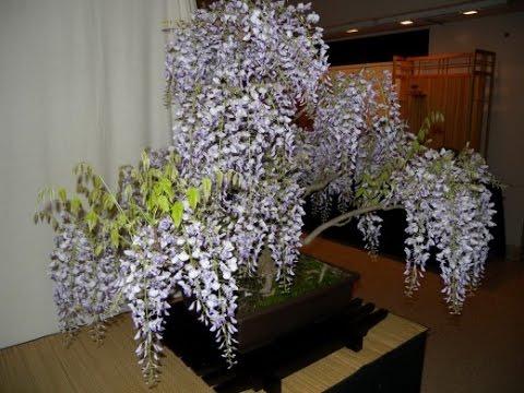 ГЛИЦИНИЯ или ВИСТЕРИЯ. Уход и выращивание в домашних условиях