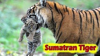 Sumatran Tiger - Facts, Habitat, Size And Threats