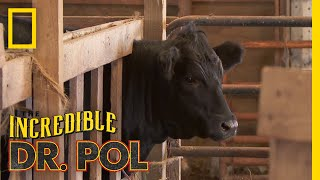It's a Cow Round-Up   The Incredible Dr. Pol