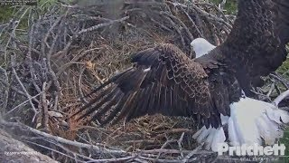 SWFL Eagles. ~ Young And Restless; M15 Longing For Harriet To Incubate & Shift Change