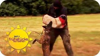 Schrecken Hunde Einbrecher ab? Selbsttest mit erschreckendem Ende | SAT.1 Frühstücksfernsehen | TV
