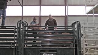 Saddle Bronc Riding 101- Chute Procedures