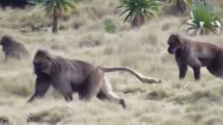 preview picture of video 'Gelada Baboons (Simien Mountains National Park)'
