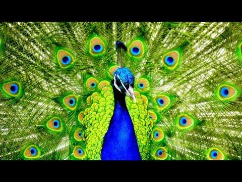 Ce paon déploie son magnifique plumage et fait la roue