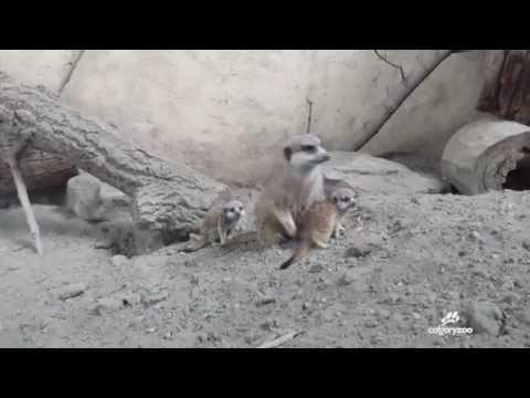 Welcome to 5 new meerkat pups!