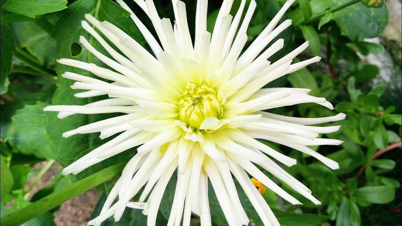Георгины. Георгин White Star. Dahlias. Dahlia. Dahlien. Dahlie White Star.