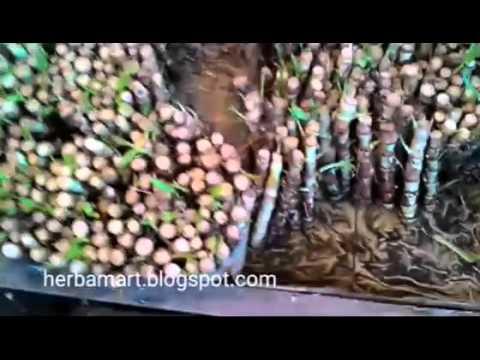 Video budidaya rumput odot