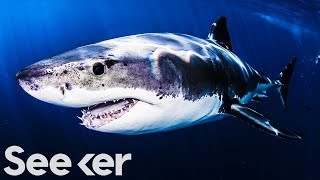 Some Sharks Live for 500 Years, What Can We Learn From Them?