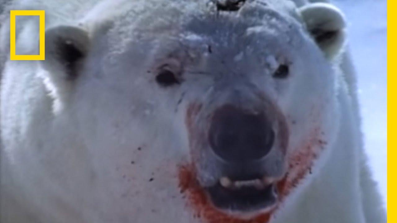 Polar Bear vs. Ring Seal   National Geographic thumbnail