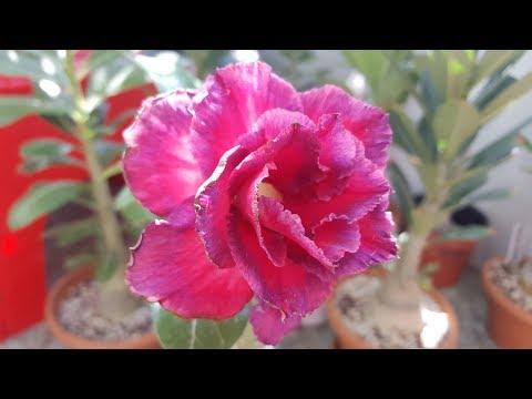 Адениум цветет! Не то, но красиво! ))