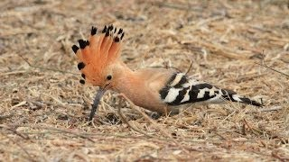 Cute hoopoe chick  גוזל חמוד של דוכיפת