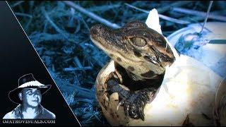 American Alligators Hatching Footage 01