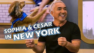 Is Your Dog Ready for the Big City? | Cesar Millan in New York City