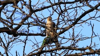 Quaker Parrots in Brooklyn - Cooper's Hawk Catches Monk Parakeet!