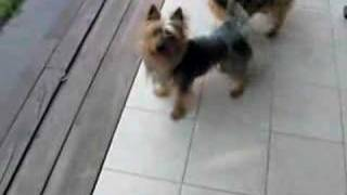 Australian silky terrier playing with ball