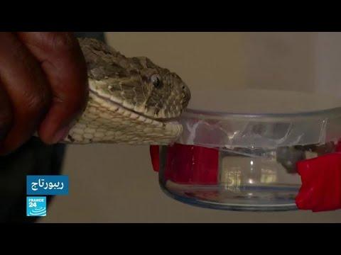 العرب اليوم - شاهد: مركز بحثي في نيروبي يحاول ابتكار أول مضاد للدغات الثعابين في شرق أفريقيا