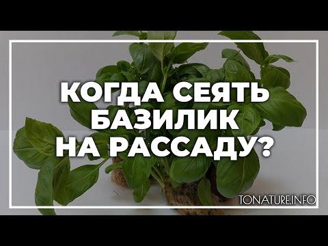 Когда сеять базилик на рассаду? | toNature.Info