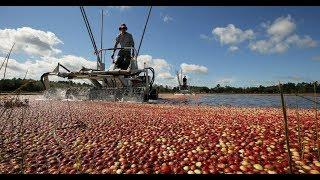 Как с помощью воды собирают клюкву в Америке