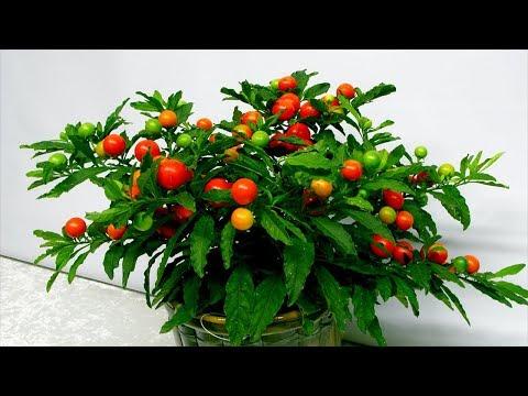 Экзотические плоды на подоконнике. Плодовые комнатные растения.