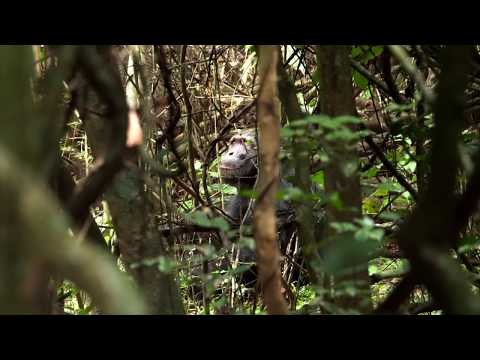 Home to a very special group of chimpanzees whose ancestors were brought to Rubondo Island in the 1960s as part of an ambitious conservation project, today you can be part of the habituation process. Available for a limited time, this is a unique opportunity to join the habituation team as they accustom the chimps to the presence of humans and witness them up close in the wild.