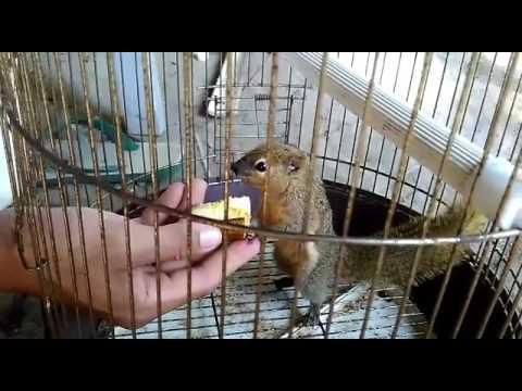 Video Cara menjinakkan tupai