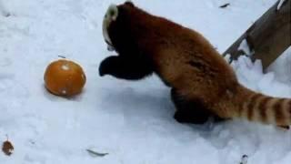 Смотреть онлайн Малая красная панда играет с тыквой