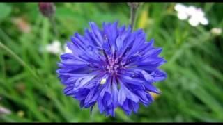 Цветы васильки. Как выглядит василек