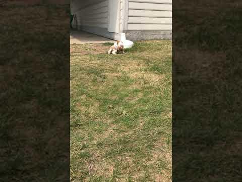 Bennett - Cavapoo puppy for sale