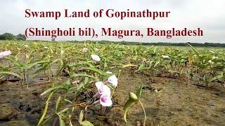 preview picture of video 'শিংহোলি বিল, মাগুরা, বাংলাদেশ (Shingholi Bil, Magura, Bangladesh) by SAMA MOVIES'