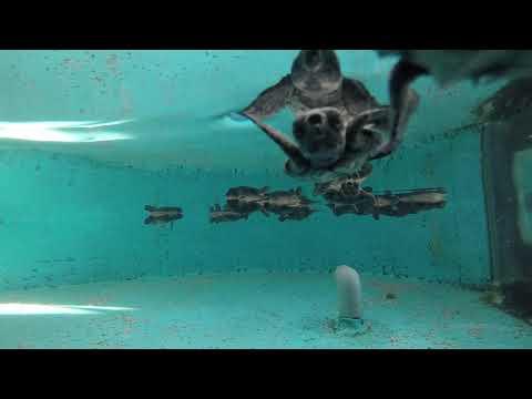 アカウミガメ赤ちゃんの摂餌の様子