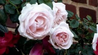 """Le Vie En  Rose"" Louis Armstrong"