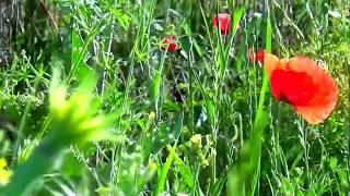 """Mark Knopfler, Old Pigweed, (""""ierburi vechi"""")"""