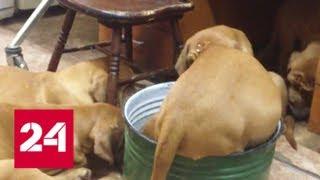 Бордосский дог загрыз хозяйку: что вызвало агрессию собаки? - Россия 24