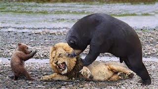 BIG MISTAKE LION STEAL BABY BEAR - Mother Bear Save Her Baby From Lion
