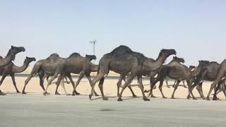 preview picture of video 'Camels on Riyadh Alkharj Road Saudi Arabia'