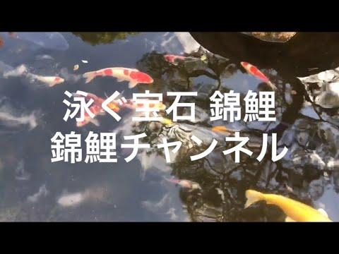 錦鯉 錦鯉チャンネル 白写り 緋写り