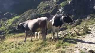 Philosophische Bildwanderung Franz Senn Hütte- Neustift in Tirol - Stubaital - Österreich Glückliche Kühe auf der Alm