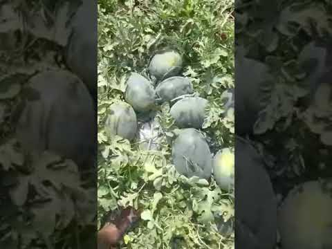 Sagar King F-1 Hybrid Watermelon Seeds