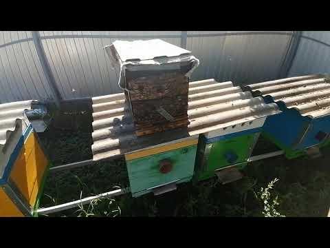Как не допустить слёта лётной пчелы обратно на место где была ловушка в близи своей пасеке.