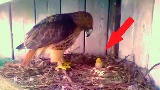 A farmer put a chicken egg into an eagle nest. This is how things turned out for the chick