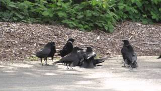 Gambar cover A Murder of Crow