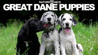 Great Dane Puppies Compilation