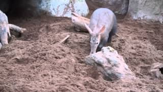 Aardvarks @ Chester Zoo Feb2015