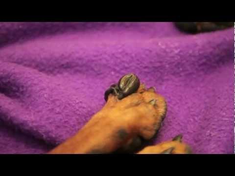 Das Ansammeln der Parasiten im Darmkanal