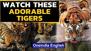 International Tiger Day: Watch these adorable Tigers | Oneindia News  IMAGES, GIF, ANIMATED GIF, WALLPAPER, STICKER FOR WHATSAPP & FACEBOOK