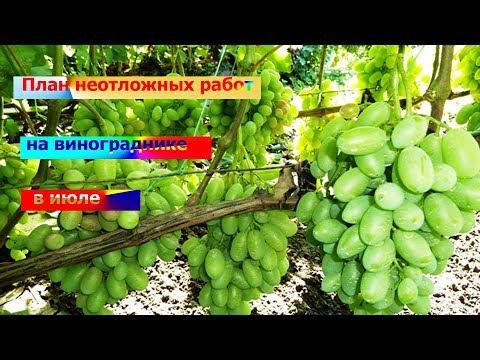 План неотложных работ на винограднике в июле