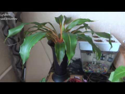 Комнатные цветы/растения. Новая пересадка хлорофитума оранжевого.
