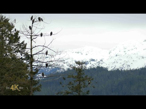 Canada: The great eagles and nature of beautiful British-Columbia
